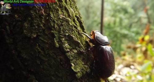 stafinilide ocypus olens, foto, foto animali, foto insetti, fotografia, insetti