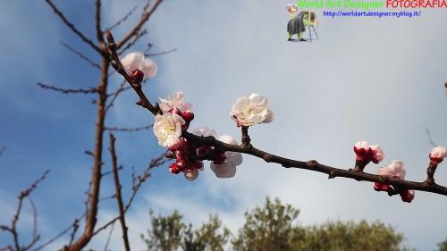 fiori di albicocche.jpg